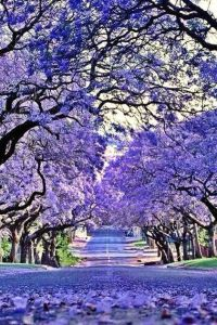 Jacarandas in Grafton, Northern NSW