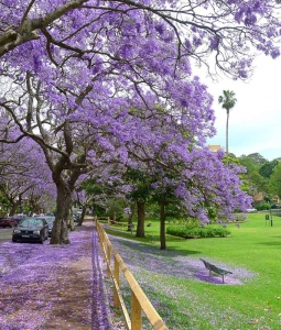 Jacaranda Trees...these ones are near The Bloke's work.