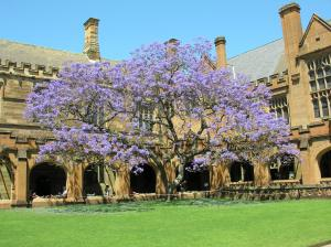 The famous Sydney Uni Jacaranda (1927-)...it holds a special place in my heart, and that of many other alumni.